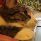 Afbeelding gebaseerd op Amelia #cat van brownpau (licentie: CC BY 2.0)